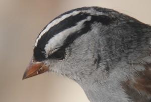 dsc_4245-sparrow
