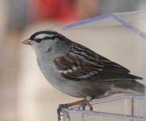 dsc_4264-sparrow