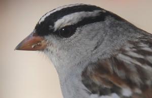 dsc_4268-sparrow