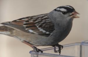 dsc_4269-sparrow