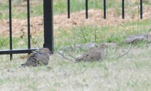 dsc_5227-doves