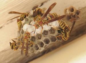 dsc_6351-wasp