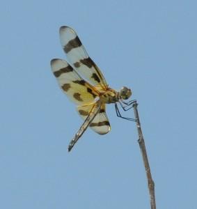 dsc_6371-dragonfly