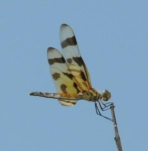 dsc_6374-dragonfly