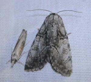 dsc_8922-moth