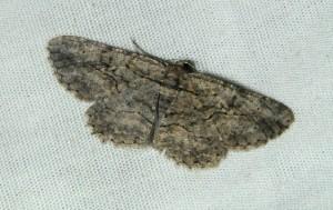 dsc_0388-moth