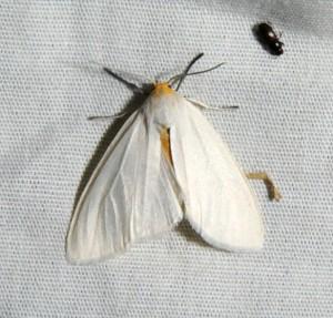 dsc_1920-moth