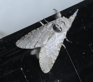 dsc_1966-moth
