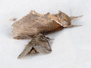 dsc_6515_2216-moth
