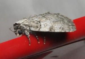 dsc_9976-moth